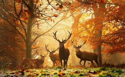 Whitetail Stags